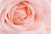 Rose close up — Stock Photo
