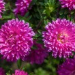 Chrysanthemums — Stock fotografie #38896515