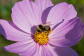 Bumblebee on a flower — Stock Photo