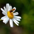 Flower with bee — Stock Photo