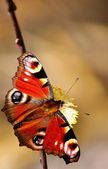 Colorful butterfly (Inachis io) — Stock Photo