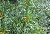 Cedar naalden — Stockfoto