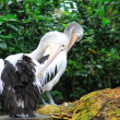 Stock Photo: Two pelicans