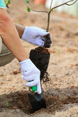 Planting a tree — Stock Photo