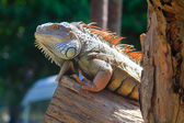 Iguana on wood — Stock Photo