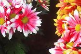 Chrysanthemums — 图库照片