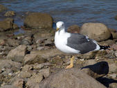 Seagull resting on rock — Stock Photo