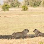 Постер, плакат: Lions in Kenya