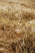 Ripening grain — Stock Photo