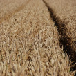 Immature wheat — Stock Photo