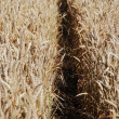 Stock Photo: Immature wheat