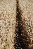 Immature wheat — Stock Photo