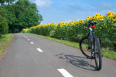 Cycling the field of sunflowers. — Stock Photo