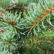 Conifer — Stock Photo #31178559