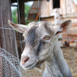 Small goat. — Stock Photo