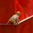 Monkey goes on the wall — Stock Photo