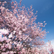 Springtime blossoms at a cherry tree — Stock Photo