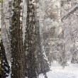 Winter forest with frozen trees — Stock Photo