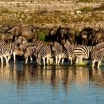las cebras y ñus — Foto de Stock   #30759697