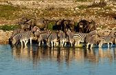 Zebras and Wildebeest — Stock Photo