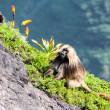 Gelada Baboons in mountains — Stock Photo