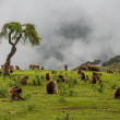 Gelada baboons — Stock Photo