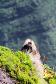Gelada Baboon in mountains — Stock Photo