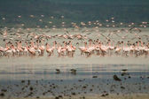 Flock of flamingoes (Phoenicopterus roseus) — Stock Photo