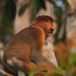 Male Proboscis Monkey — Stock Photo