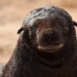 Cape Fur Seal (Arctocephalus pusillus pusillus) portrait — Stock Photo