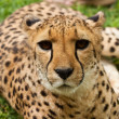 Cheetah portrait, close up — Stock Photo