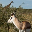 Stock Photo: Beautiful young gazelle