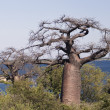 Baobab trees — Stock Photo #30956403