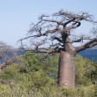 Baobab trees — Stock Photo #30956405