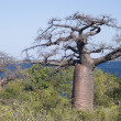Stock Photo: Baobab trees