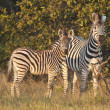 Two striped zebra — Stock Photo