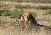 Afrikaanse wilde leeuw — Stockfoto