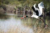 Saddle-billed stork in flight — Stock Photo