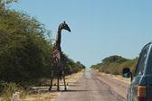 Giraffe on the road — Stock Photo
