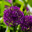 Stock Photo: Allium blooming