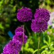 Allium blooming — Stock Photo