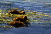 雏鸭在水中游泳 — 图库照片