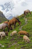 Atlar ve domuzlar kafkas dağları — Stok fotoğraf