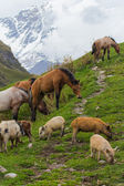 Horses and pigs in Caucasus Mountains — Stock Photo