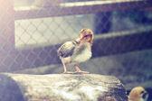 Chicken — 图库照片