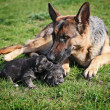 German Shepherd with puppies — Stock Photo