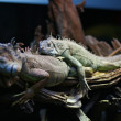 Two sleeping iguana — Stock Photo #38062957
