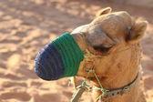 Camel muzzled — Foto de Stock