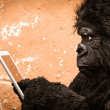 Gorilla with Tablet — Stock Photo