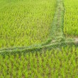 Rice Paddy Field — Stockfoto